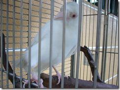 Albiino lintujonlajiaennytmuista