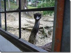 Emu odottamassa ruokaa