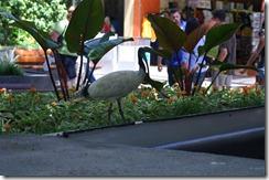 Joku hassu lintu Brisbanessa kauppakadulla