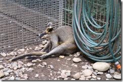 Oudosti nukkuva kenguru