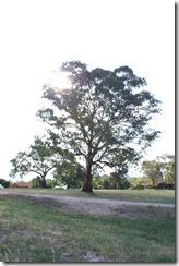 Taiteellinen kuva Aussipuusta