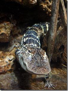 Amerikan krokotiili